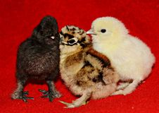 Five day old baby chicks Stock Images