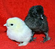 Five day old baby chicks Royalty Free Stock Photos