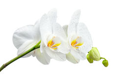 Five day old orchid with water droplets isolated on white. Stock Image