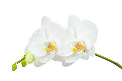 Five day old orchid with water droplets isolated on white. Royalty Free Stock Photo