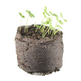 Five-day snapdragon seedlings with two green cotyledon leaves isolated on white Stock Photos