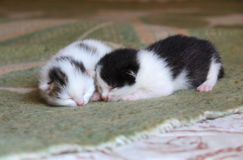 Five days old baby kittens. Five days old cute sleepy baby kittens Royalty Free Stock Photos