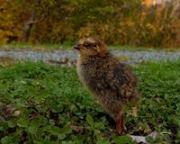 Five days old quail, Coturnix japonica.....photographed in nature. Breed by hoby growers in Sweden. The Japanese quail, Coturnix japonica, is a species of Old royalty free stock photography