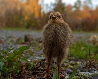 Five days old quail, Coturnix japonica.....photographed in nature. Breed by hoby growers in Sweden. The Japanese quail, Coturnix japonica, is a species of Old royalty free stock photos