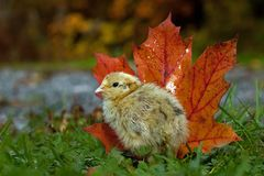 Five days old quail, Coturnix japonica. Standing next to an orange maple leaves in autumn