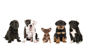 Five different breed of puppies sitting next to each other Stock Photo