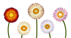 Five Different Strawflowers Isolated on White Royalty Free Stock Photos