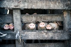 Five pigs behind the wooden fence Stock Photo