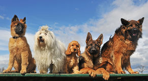 Five dogs. And puppies lying down and sitting on a table stock photos