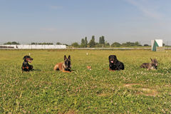 Five dogs. Laid down in the grass Stock Photo