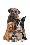 Five dogs. In front of a white background Royalty Free Stock Photography