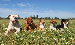 Five dogs royalty free stock image