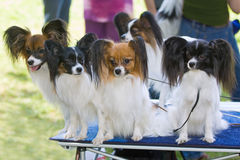 Five dogs. Of breed papillon on a table stock images
