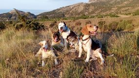 Five dogs lie in the grass in the mountains near the fortresss royalty free stock image