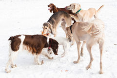 Five dogs meeting Royalty Free Stock Image