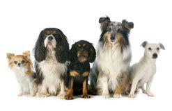 Five dogs Stock Photography