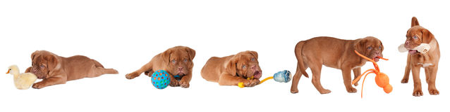 Five Dogue De Bordeaux Puppies playing with toys Royalty Free Stock Photo