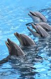 Five dolphins. Group of five dolphins in blue turquoise water stock images