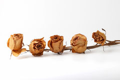 five dried roses on white background Royalty Free Stock Photos