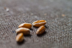 Five dry wheat grains close up on blurred brown canvas Royalty Free Stock Photography