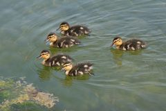 Five ducklings Royalty Free Stock Photo