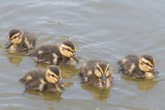 Five ducklings on the water. On Southampton Common stock photos