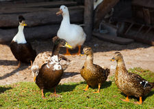 Five ducks adult male walking near the pond. Stock Photography