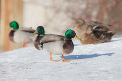 Five ducks on snow. In the winter Royalty Free Stock Photos