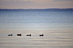 Five ducks swimming in a row in the early morning light with horizon in the background Stock Photo