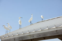 Five egrets on roof Stock Photos