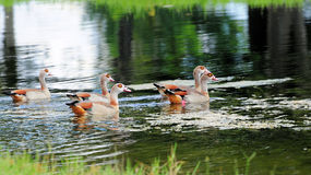 Five Egyptian Geese Royalty Free Stock Photo