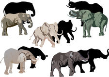 Five elephants and its shadows Stock Photos