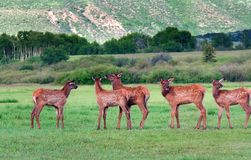 Five Elk Fawns Stock Photo