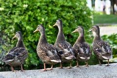 Five female ducks Stock Image