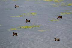 Five Female Mallard Ducks in a Lake Stock Images
