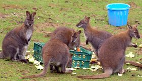 Five Female Wallabies Feeding  Stock Photography