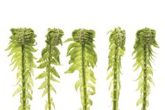 Five Ferns in row Stock Images