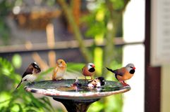 Five Finch birds in birdbath, Florida Royalty Free Stock Photo