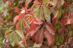 Five-finger leaves of Parthenocissus quinquefolia in autumn. Five finger leaves of Parthenocissus quinquefolia in autumn Royalty Free Stock Images