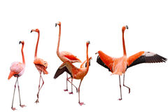 Free Five Flamingo Royalty Free Stock Images - 48003529