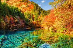 The Five Flower Lake Multicolored Lake among autumn forest. Amazing view of the Five Flower Lake Multicolored Lake among colorful fall woods in Jiuzhaigou nature Royalty Free Stock Photos