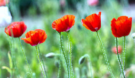 Five flowers Coquelicot tilt in the wind. Five flowers Coquelicot tilted in wind with red color of flowers, smooth and the hairs on the body to increase focus royalty free stock image