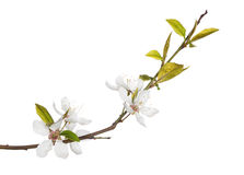 Five flowers on spring tree branch. Cherry tree flowers isolated on white background stock photos