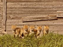 Five fox kits Stock Image