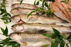 Five Fresh and beautiful  trouts fish Royalty Free Stock Photo