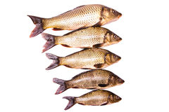 Five fresh carps Stock Photo