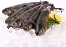 Five fresh rainbow trout with lemon on ice Royalty Free Stock Photo