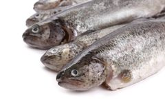 Five fresh rainbow trout on white background Stock Photography
