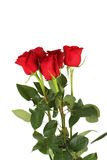 Five fresh red roses on white background, close up Royalty Free Stock Image