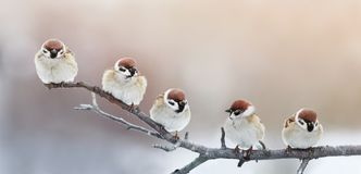 Five funny little birds sparrows sitting on a branch in winter g royalty free stock photo